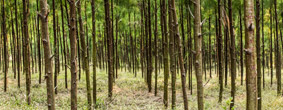 Andhra Paper Farm Forestry